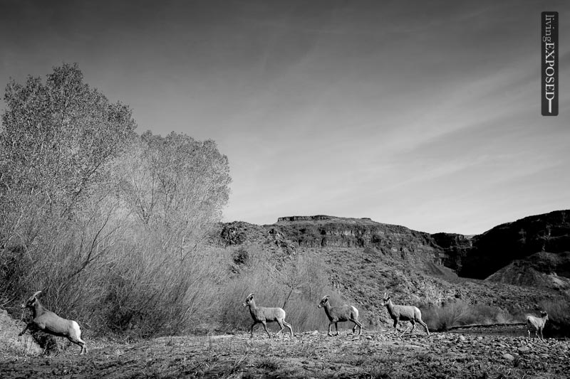 Desert Bighorn Sheep on the Gila River